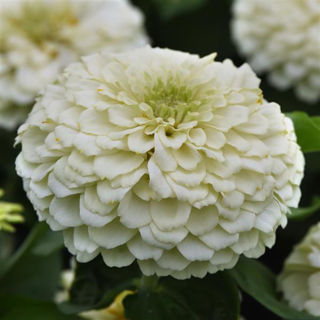 Picture of Zinnia Zesty White