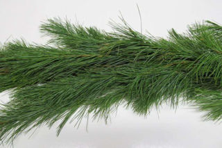 Picture of White Pine 75' - Heavy