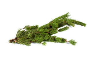 Picture of Shore Pine Bunch