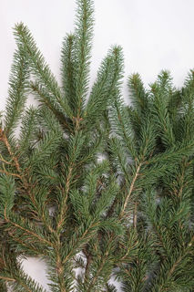 Picture of Norway Spruce Bale