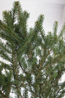 Picture of White Spruce Bale