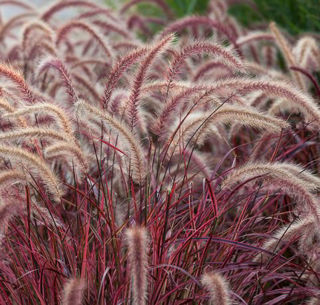 Picture of Pennisetum Purple Fountain Grass