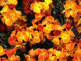 Picture of Erysimum Sugar Rush Orange