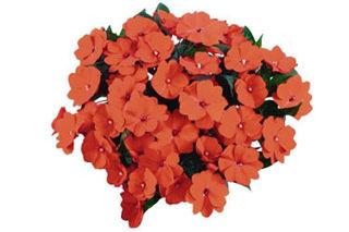 Picture of Impatiens NG Tamarinda Orange