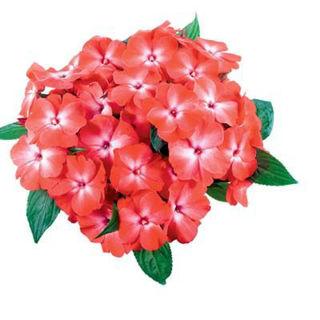 Picture of Impatiens NG Tamarinda Orange Orchid