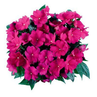 Picture of Impatiens NG Tamarinda Purple