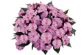 Picture of Impatiens NG Tamarinda Purple Bicolor
