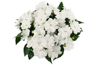 Picture of Impatiens NG Tamarinda White