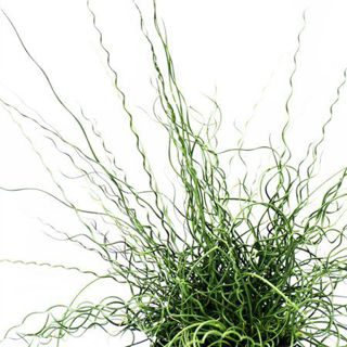 Picture of Juncus Big Twister