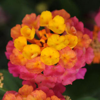 Picture of Lantana Lucky Sunrise Rose