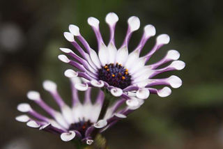 Picture of Osteospermum Flower Power Spider White
