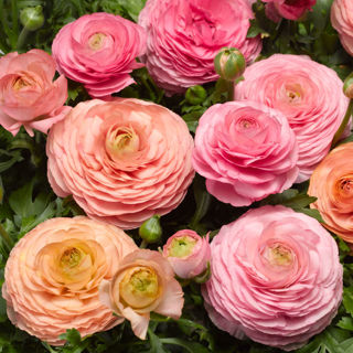 Picture of Ranunculus Magic Peach And Pink