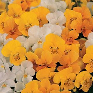 Picture of Viola Sorbet XP Citrus Mix
