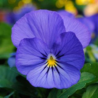 Picture of Viola Sorbet XP True Blue