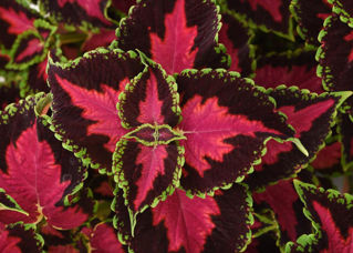 Picture of Coleus Heartbreaker