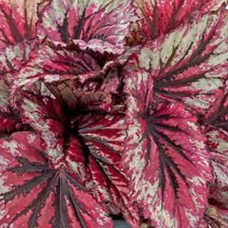 Picture of Begonia Rex Shadow King Cherry Mint
