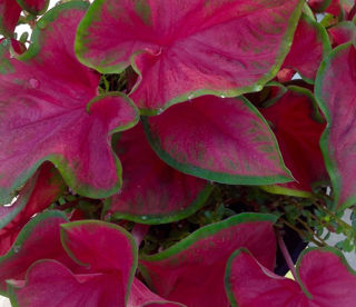 Picture of Caladium Cherry Tart