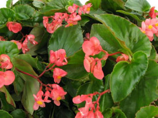 Picture of Begonia Dragon Wing Pink