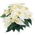 Picture of Poinsettia White
