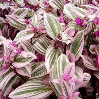 Picture of Wandering Jew Pink Variegated