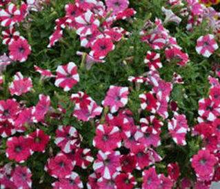 Picture of Confetti Garden Glossy Cherry
