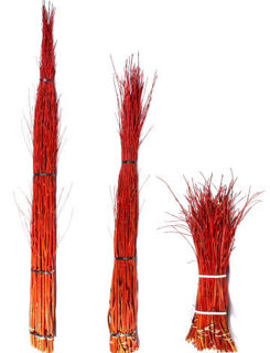 """Picture of Dogwood Cardinal Tips 30""""-36"""""""