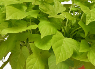 Picture of Ipomoea Spotlight Lime