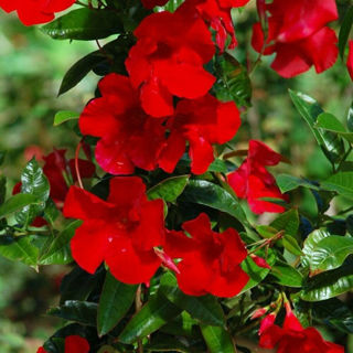 Picture of Mandevilla Teepee Red
