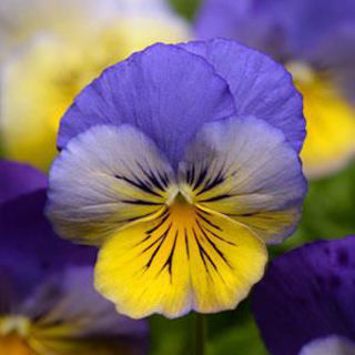 Picture of Pansy Cool Wave Morpho