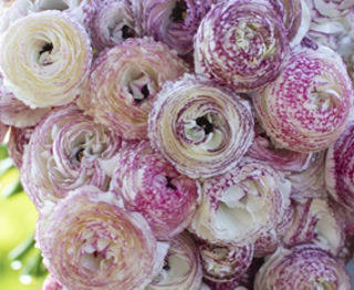 Picture of Ranunculus Amandine White Picotee