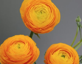 Picture of Ranunculus LaBelle Gold