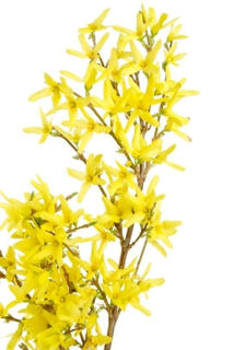 """Picture of Forsythia Yellow Artificial 34"""""""