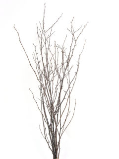 """Picture of Birch Large Snow Covered/Glitt 36""""-48"""""""