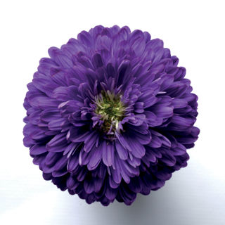 Picture of Aster Purple
