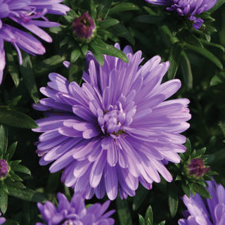 Picture of Aster Lavender