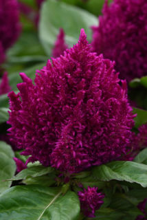 Picture of Celosia First Flame Purple