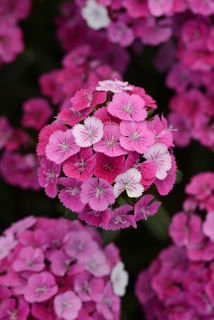 Picture of Dianthus Jolt Pink Magic