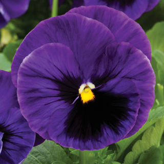 Picture of Pansy Colossus Deep Blue w/ Blotch