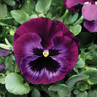 Picture of Pansy Colossus Neon Violet
