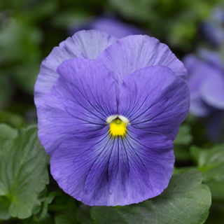 Picture of Pansy Delta True Blue