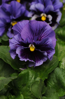 Picture of Pansy Frizzle Sizzle Blue