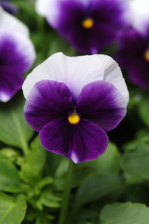 Picture of Pansy Panola Beaconsfield