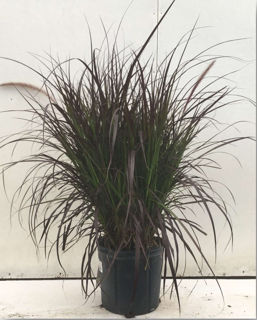 Picture of Pennisetum Purple Fountain Grass