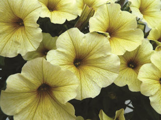 Picture of Petchoa SuperCal Light Yellow
