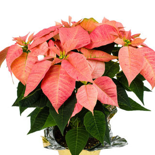 Picture of Poinsettia Candy Cinnamon
