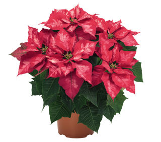 Picture of Poinsettia Ice Punch