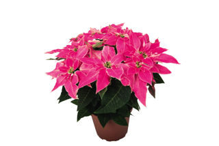 Picture of Poinsettia Luv U Pink