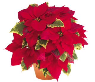 Picture of Poinsettia Tapestry