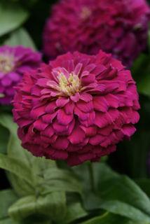Picture of Zinnia Zesty Purple