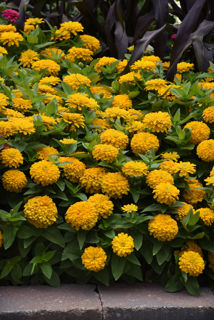 Picture of Zinnia Zesty Yellow